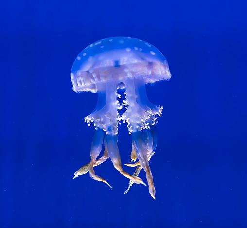 Jelly Fish Ripley's Aquarium of Canada